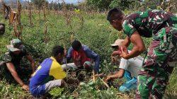 Satgas Pamtas Sektor Timur Panen Ubi Dukung Ketahanan Pangan di Perbatasan